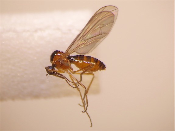 Ocydromia glabricula