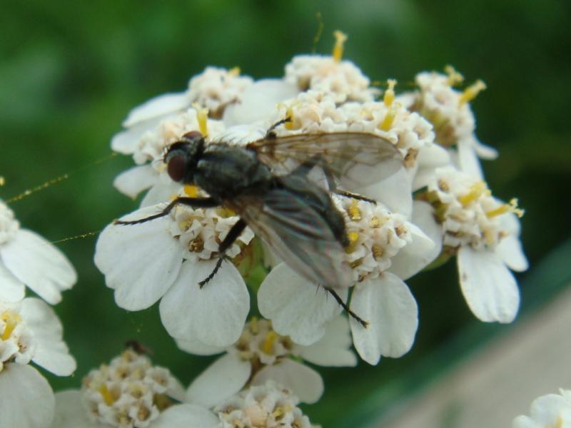 Phyto melanocephala