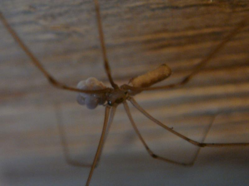 Pholcus phalangioides Grote Trilspin