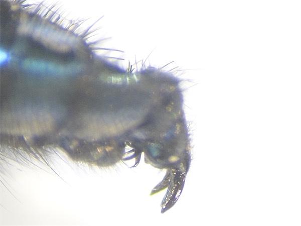 Bellardia viarum