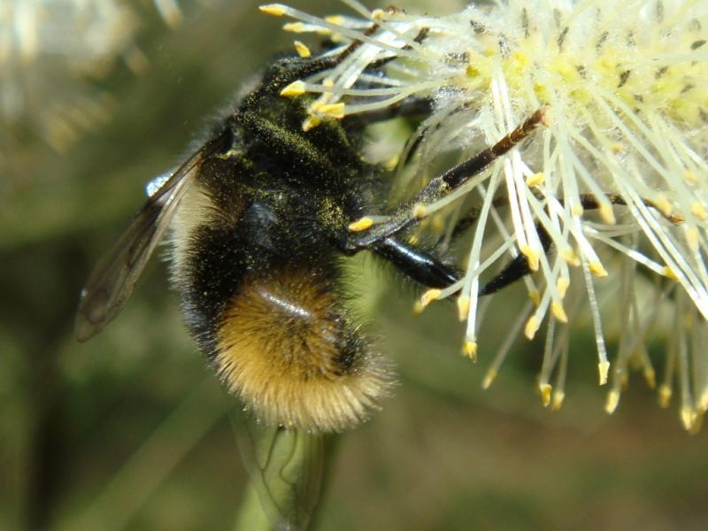Mallota fuciformis Hommelmallota(f)