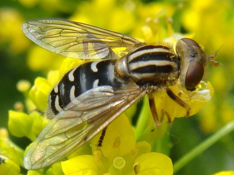 Anasimyia interpuncta Bokserwaterzweefvlieg(f)