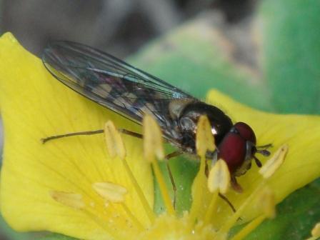 Meliscaeva auricollis Variabel Elfje(m)