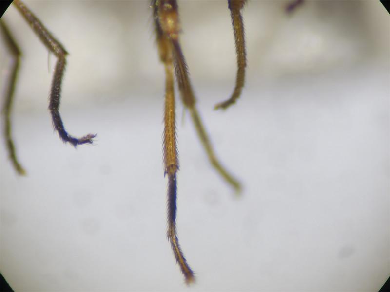 Calliopum aenum