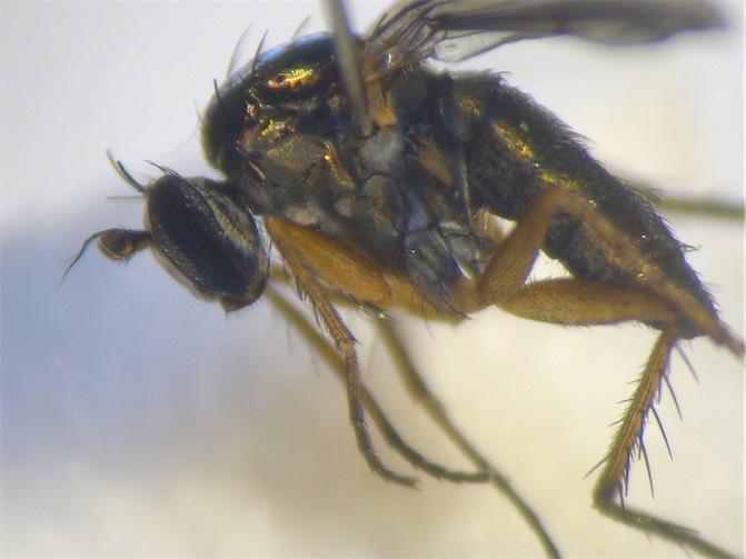 Dolichopus agilis
