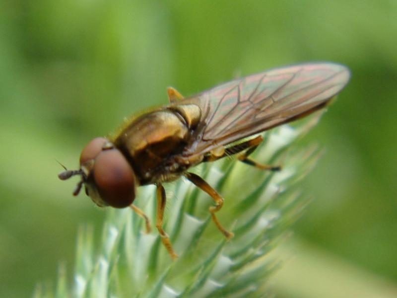 Platycheirus clypeatus Gewoon Platvoetje(m)
