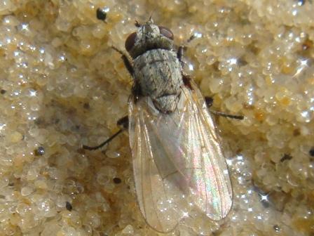 Limnospila albifrons(f)