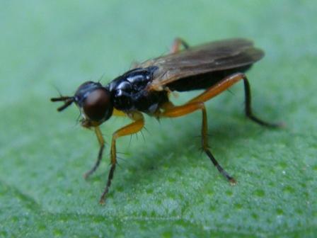 Phrosia albilabris