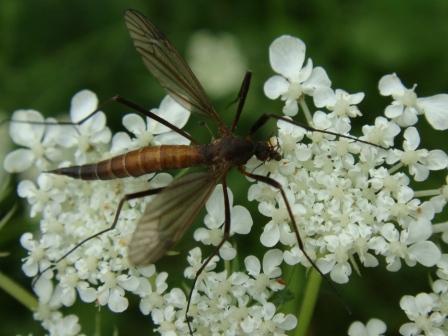 Nigrotipula nigra(f)