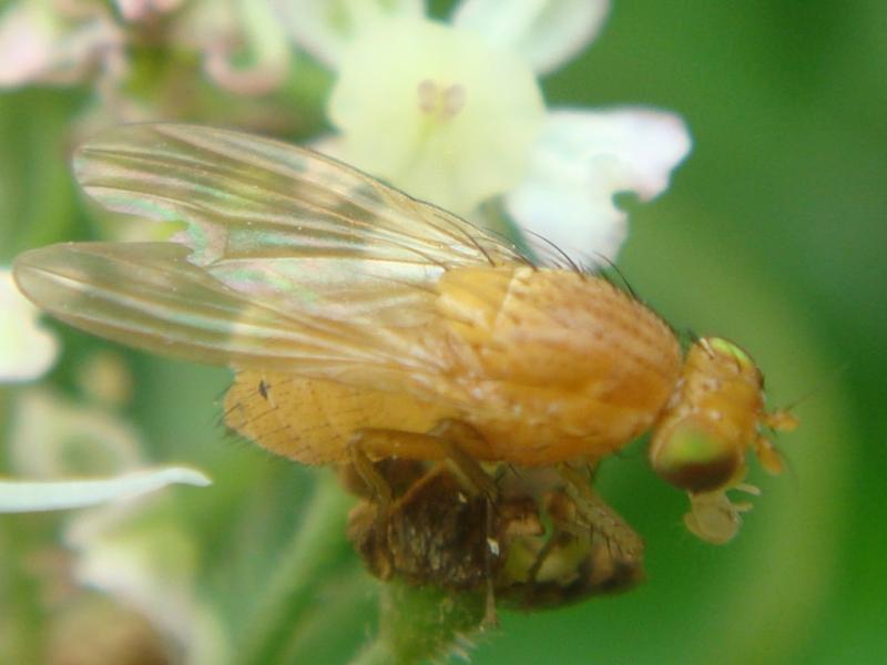 Sapromyza quadripunctata