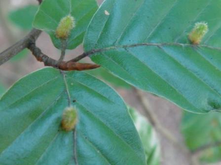 Hartigiola annulipes Beukenhaargalmug