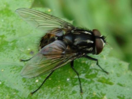 Graphomya maculata(m)