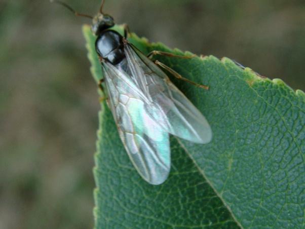 Formicidae indet. Mier onbekend