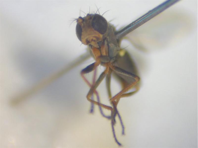 Hydrellia flaviceps