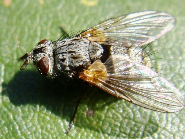 Cyzenis albicans