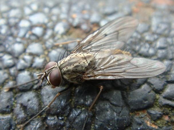 Phaonia fuscata(m)