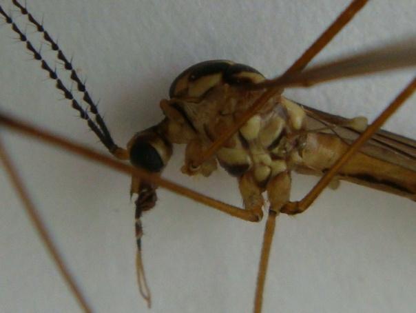 Nephrotoma quadristriata(m)