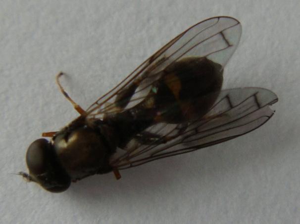 Neoascia podagrica Gewone Korsetzweefvlieg(f)
