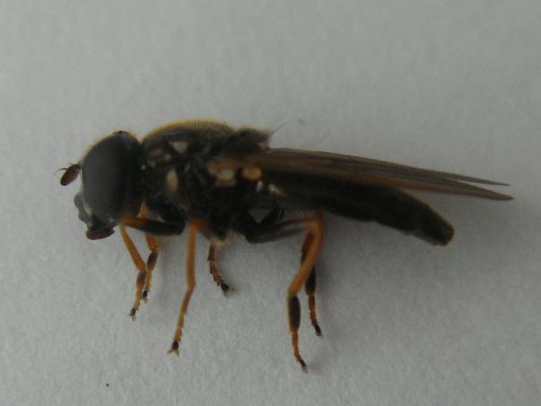 Cheilosia urbana Lichtklauwzandgitje(f)
