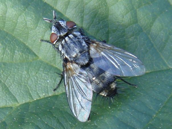 Lydella grisescens