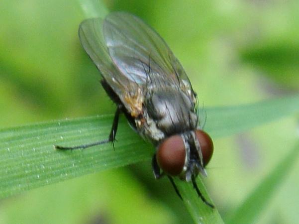 Fannia fuscula (f)