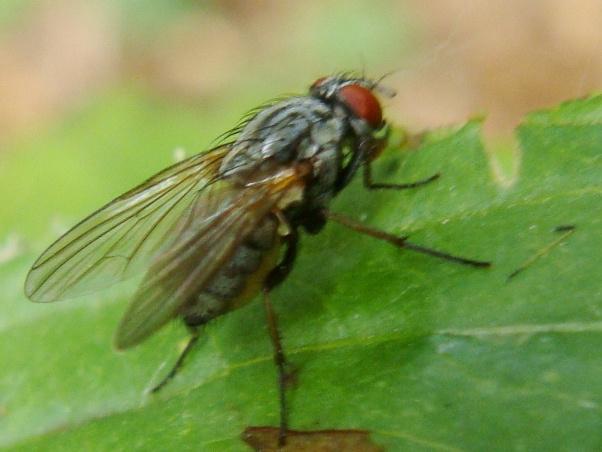 Emmesomyia grisea(f)