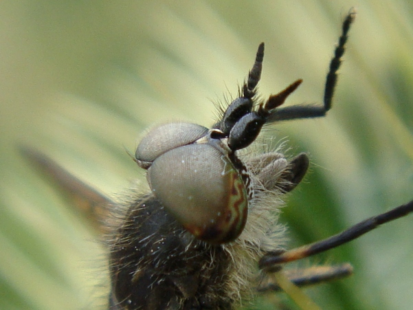 Haematopoda crassicornis Diksprietregendaas