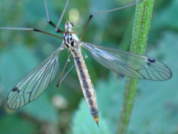 Nephrotoma dorsalis(f)