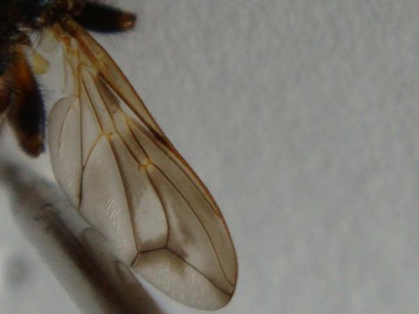 Myopa buccata