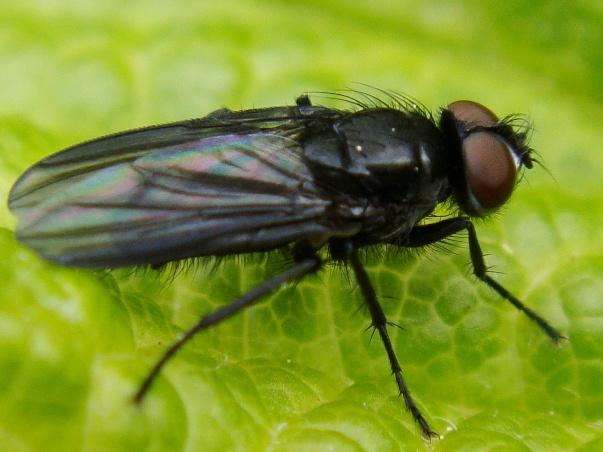 Morinia melanoptera