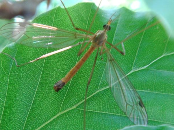 Tipula livida(m)