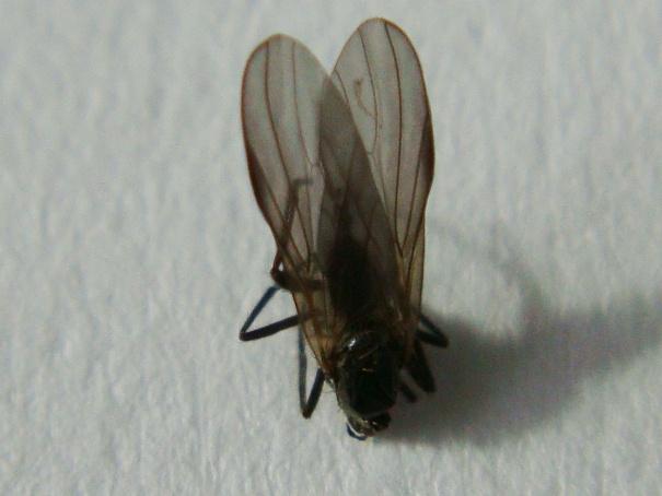 Rhamphomyia erythrophthalma