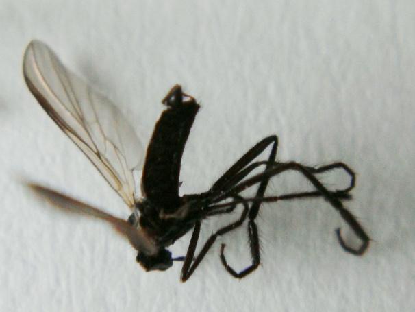 Rhamphomyia obscuripennis