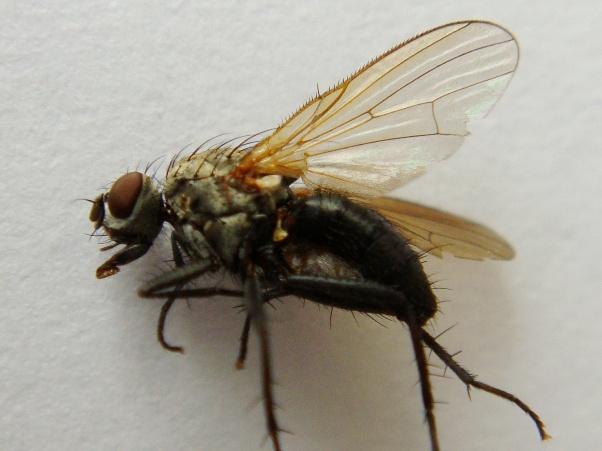 Botanophila gnava(f)