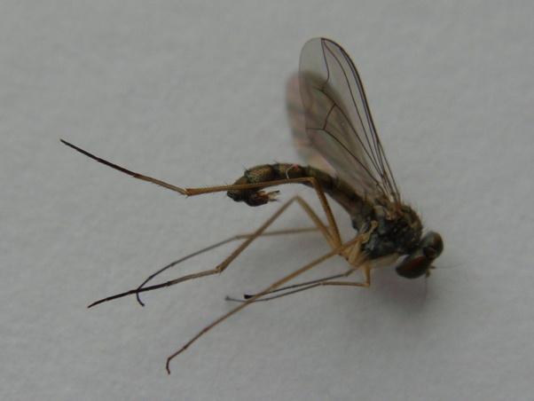 Sciapus wiedemanni
