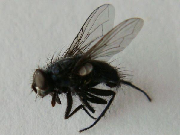 Pollenia angustigena