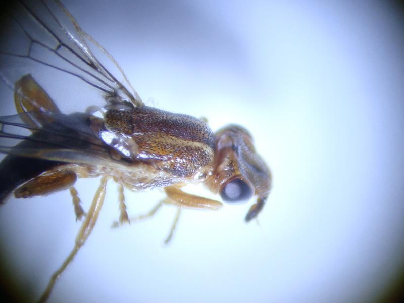 Platycephala planifrons