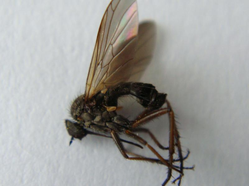 Empis picipes