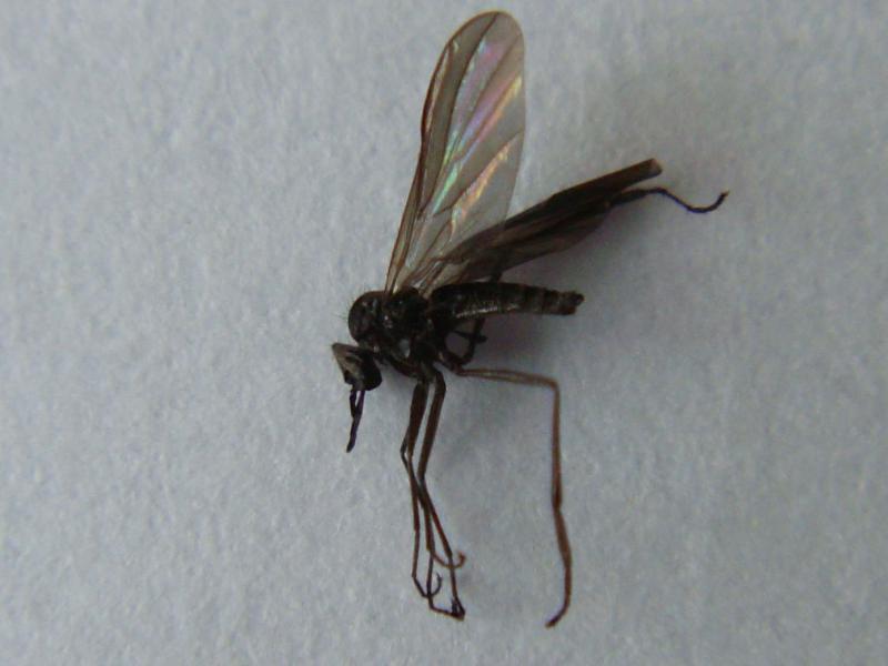 Rhamphomyia umbripennis(m)