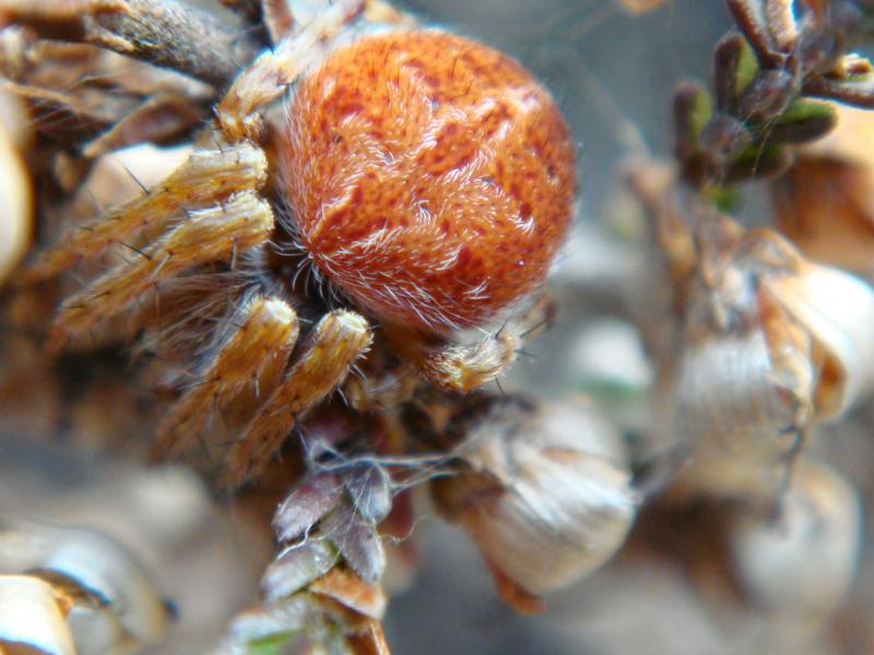 Agelene redii Brede Wielwebspin