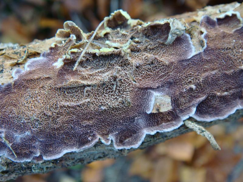 Trichaptum albietinum
