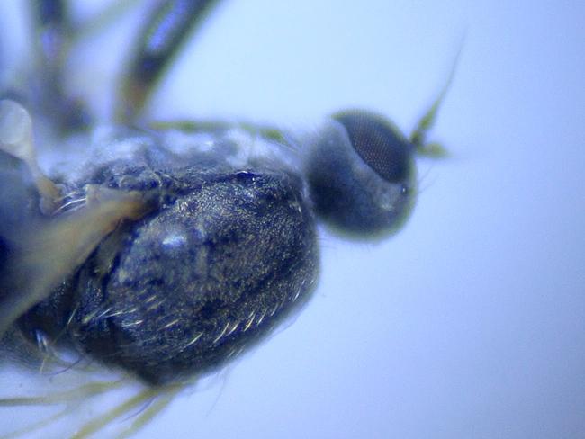 Platypalpus annulatus