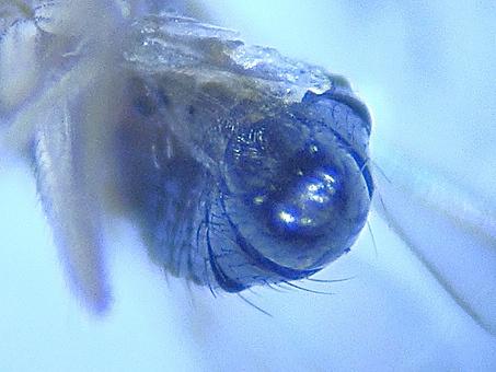 Lordiphosa andalusiaca (m)