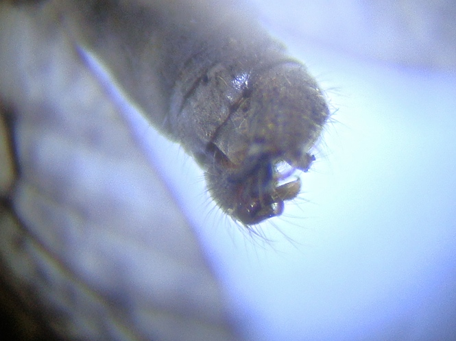 Limnophila pictipennis