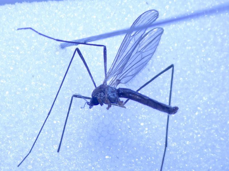 Erioptera fuscipennis