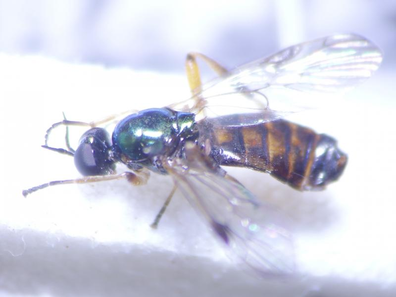 Chorisops tibialis