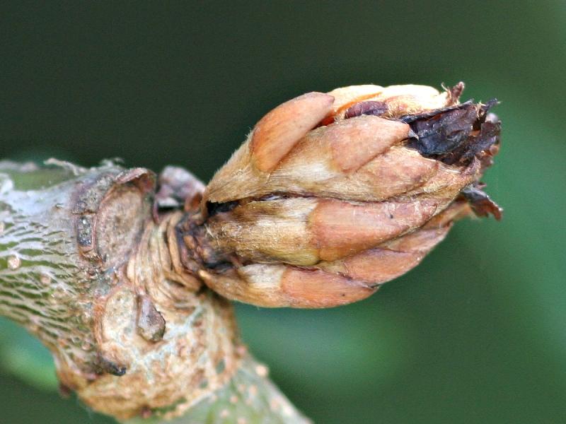 Andricus foecundatrix (Hartig, 1840) ff