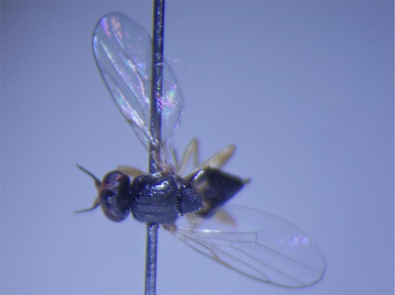Elachiptera tuberculifera