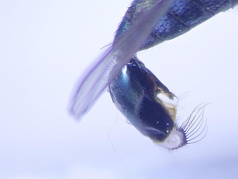 Dolichopus nitidus