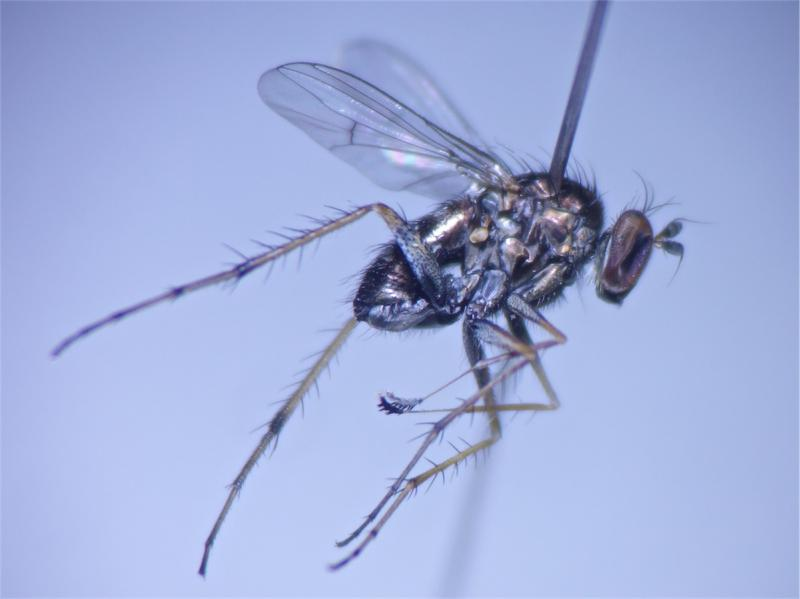 Tachytrechus insignis